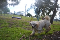 banksia-park-puppies-buddy-6-of-25