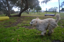 banksia-park-puppies-buddy-7-of-25