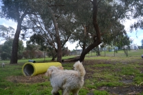 banksia-park-puppies-buddy-8-of-25