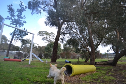 banksia-park-puppies-buddy-9-of-25
