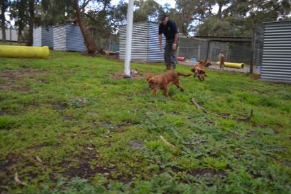 banksia-park-puppies-bunny-16-of-19