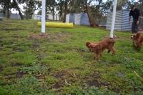 banksia-park-puppies-bunny-17-of-19