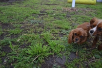 banksia-park-puppies-bunny-18-of-19