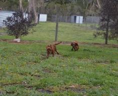 banksia-park-puppies-bunny-2-of-19