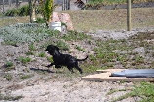Banksia Park Puppies Jodel - 1 of 27 (1)