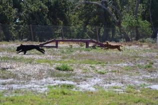 Banksia Park Puppies Jodel - 1 of 27 (2)