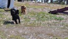 Banksia Park Puppies Jodel - 1 of 27 (23)