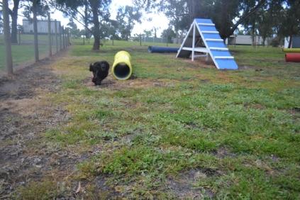 banksia-park-puppies-jodel-1-of-31