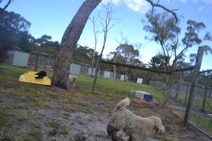 banksia-park-puppies-jodel-12-of-31