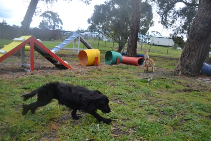 banksia-park-puppies-jodel-20-of-31
