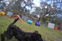 banksia-park-puppies-jodel-3-of-31