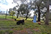 banksia-park-puppies-jodel-30-of-31