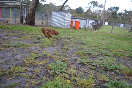 banksia-park-puppies-pia-27-of-34