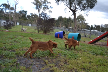 banksia-park-puppies-pia-32-of-34