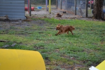 banksia-park-puppies-pippi-4-of-17