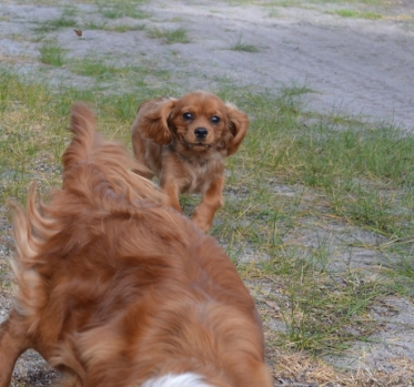 banksia-park-puppies-rosy-1-of-7
