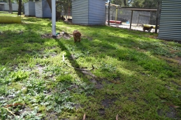 banksia-park-puppies-rosy-2-of-7
