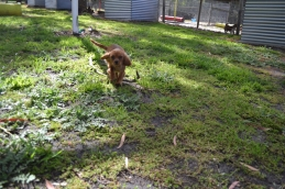 banksia-park-puppies-rosy-3-of-7
