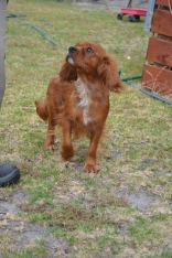 banksia-park-puppies-ruby-15-of-20
