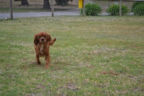 banksia-park-puppies-ruby-3-of-20