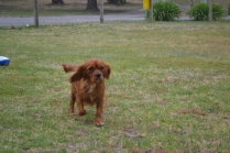 banksia-park-puppies-ruby-4-of-20