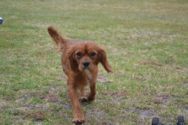 banksia-park-puppies-ruby-5-of-20