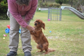 banksia-park-puppies-ruby-7-of-20