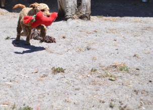 banksia-park-puppies-sand1