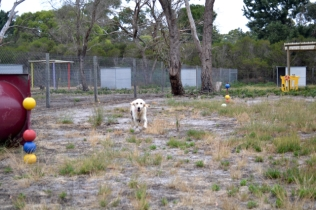 odie-banksia-park-puppies-1-of-20