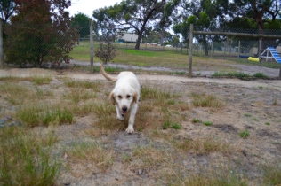 odie-banksia-park-puppies-3-of-20