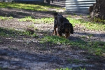 BILL- cavie- Banksia Park Puppies - 1 of 15