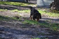 BILL- cavie- Banksia Park Puppies - 1 of 15