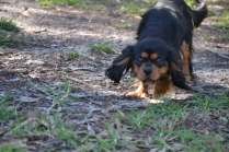 BILL- cavie- Banksia Park Puppies - 2 of 15