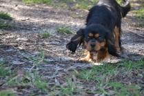 BILL- cavie- Banksia Park Puppies - 2 of 15