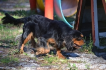 BILL- cavie- Banksia Park Puppies - 3 of 15
