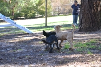 BILL- cavie- Banksia Park Puppies - 7 of 15