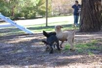 BILL- cavie- Banksia Park Puppies - 7 of 15
