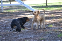 BILL- cavie- Banksia Park Puppies - 8 of 15