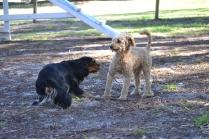 BILL- cavie- Banksia Park Puppies - 8 of 15