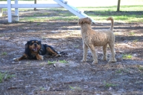 BILL- cavie- Banksia Park Puppies - 9 of 15