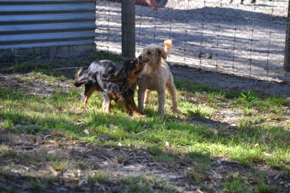 TED-poodle-Banksia Park Puppies - 1 of 19
