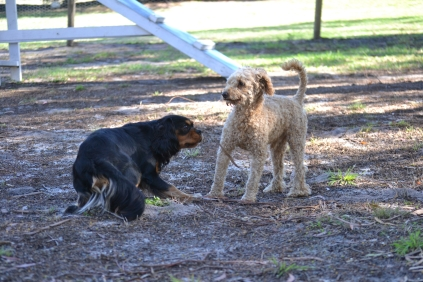 TED-poodle-Banksia Park Puppies - 11 of 19