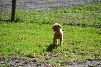 TED-poodle-Banksia Park Puppies - 14 of 19