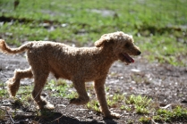 TED-poodle-Banksia Park Puppies - 15 of 19