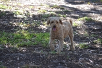 TED-poodle-Banksia Park Puppies - 16 of 19