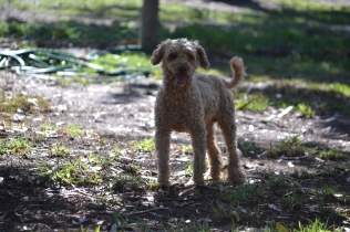 TED-poodle-Banksia Park Puppies - 2 of 19