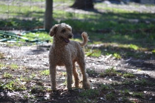 TED-poodle-Banksia Park Puppies - 3 of 19
