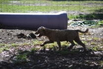 TED-poodle-Banksia Park Puppies - 4 of 19