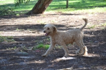 TED-poodle-Banksia Park Puppies - 5 of 19