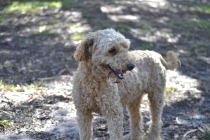 TED-poodle-Banksia Park Puppies - 6 of 19